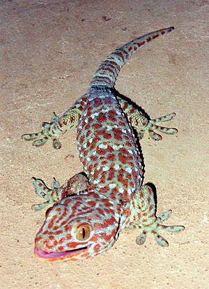 Tokay Gecko (Gekko gecko), Location: Vang Vien...