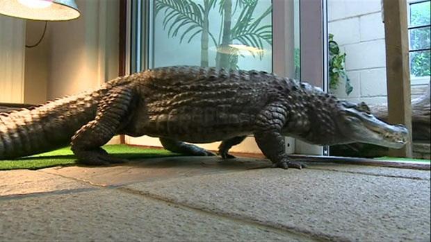 O crocodilo César (Foto: BBC)