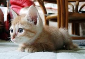 Kucing Lucu Yang Kecil