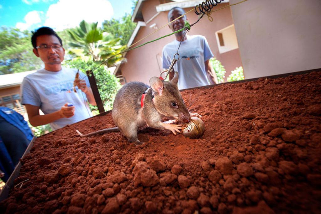 Ratazanas estão salvando um monte de vidas da maneira mais surpreendente 04