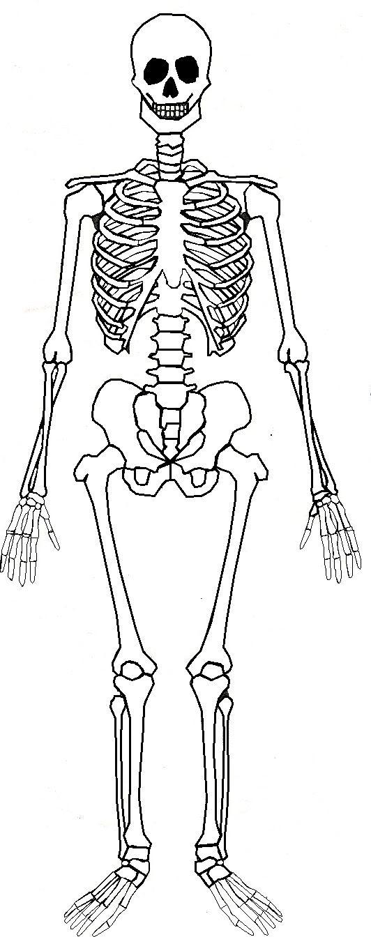 Skeletal System Drawing at GetDrawings | Free download