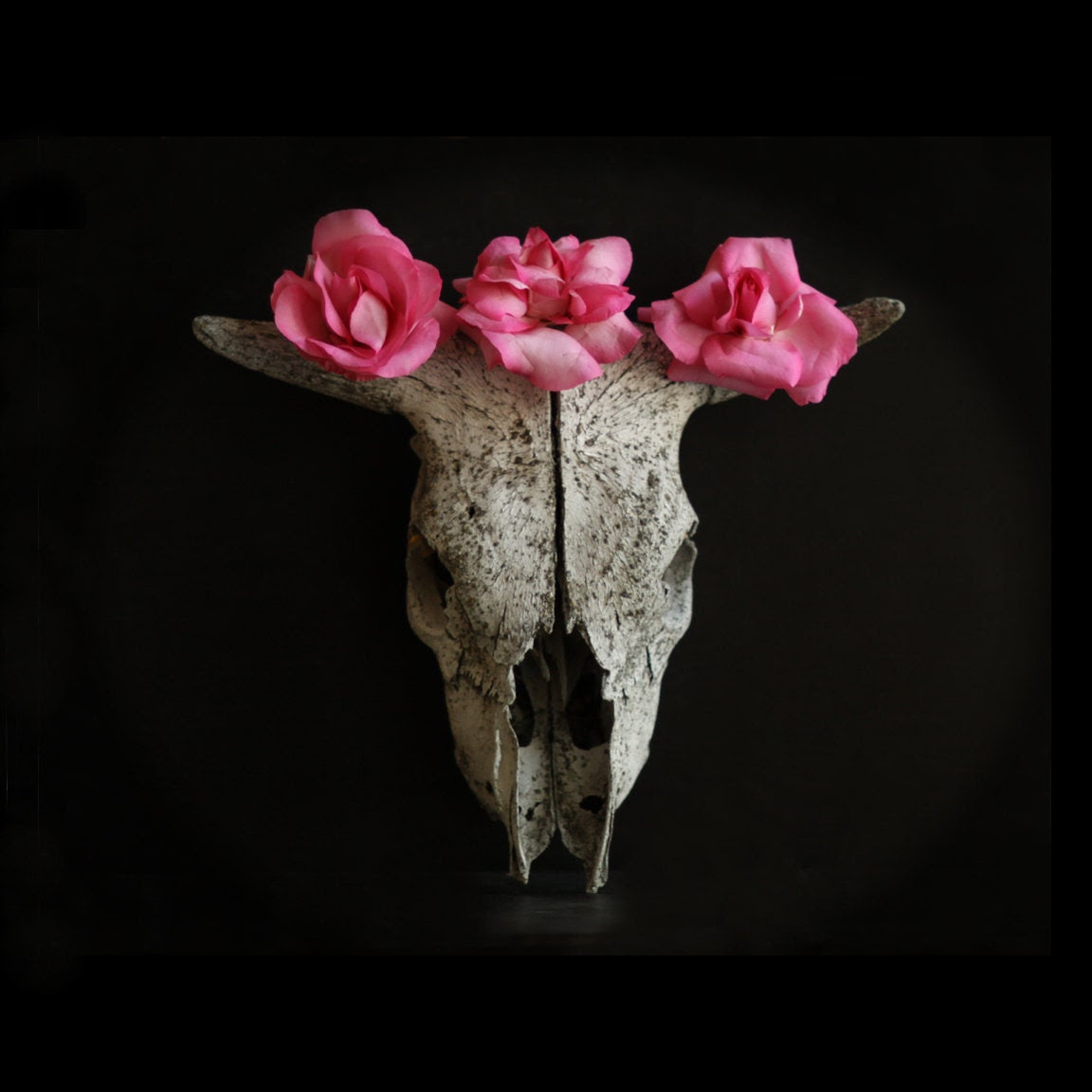 Flower Photography Still Life of a Cow Skull with Pink and Ivory Roses