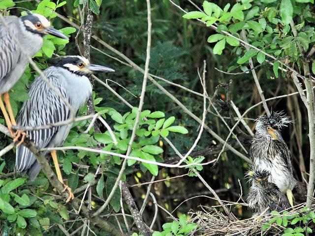 Yellow-crowned Night-Heron nest 22 family 20130602