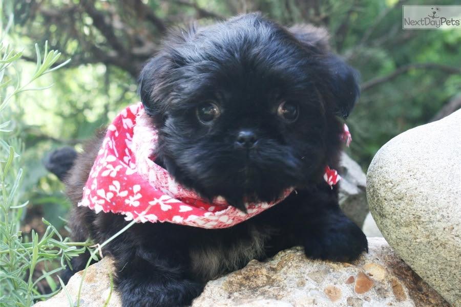 Shih Tzu puppy for sale near Russia