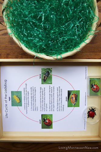 Life Cycle of a Ladybug Sensory Basket and Tray
