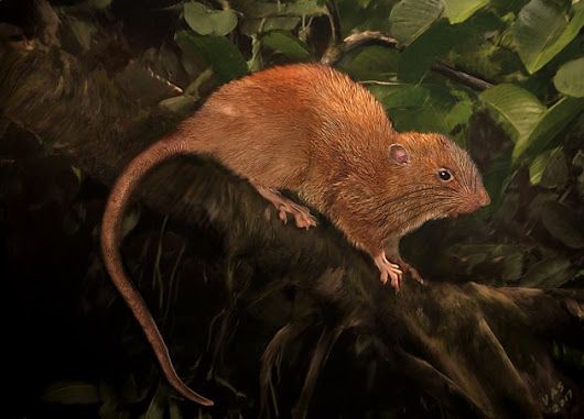 Giant, tree-dwelling rat discovered in Solomon Islands