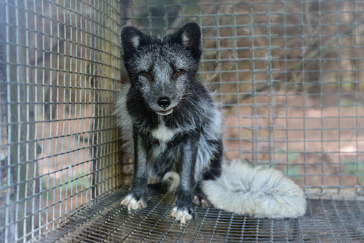 Online retailer for Prada, Gucci, Michael Kors, and Burberry goes fur-free · A Humane Nation