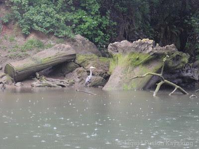 Great Blue Heron on fishing in the rain.