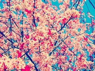 Cherry Blossoms, Allamuchy NJ 3