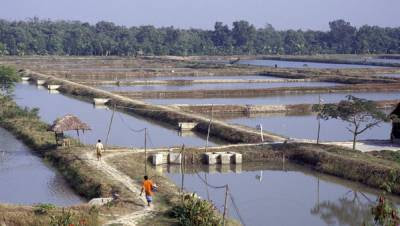 Probiotics and Shrimp Farming