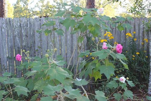 Confederate Rose Tree