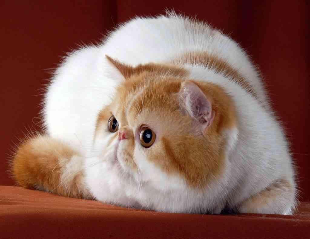Características del gato exótico de pelo corto