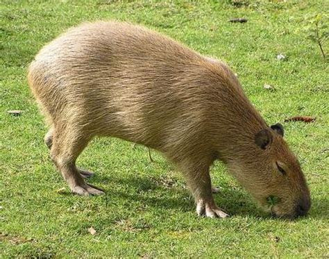 Picture 9 of 11   Capybara (Hydrochoerus Hydrochaeris) Pictures & Images   Animals   A Z Animals