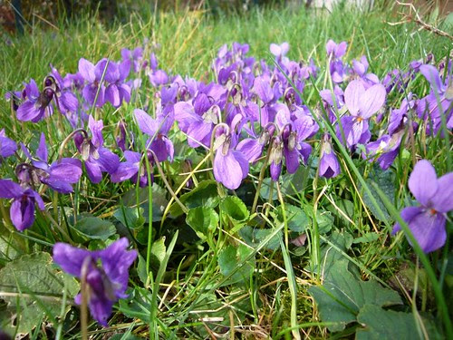 Violettes sauvages