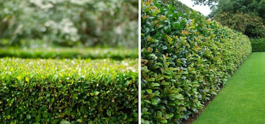 Evergreen Hedging | Hedges Direct