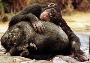 Una pareja de chimpancés en el zoo de Taronga, en Sydney. (Foto: Reuters)