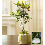 Plants by 1-800 Flowers - Magnolia Tree for Sympathy