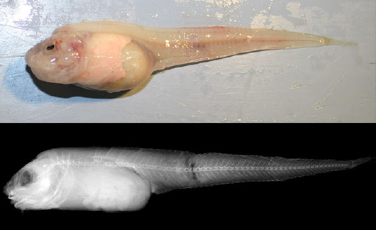 Swire's Snailfish: Deepest fish in the world | Amazing Zoology