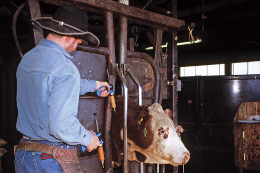 Pre-breeding vaccinations for cows and bulls - Canadian Cattlemen