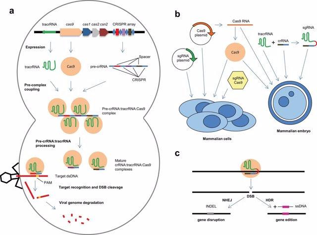 Técnica CRISPR-Cas