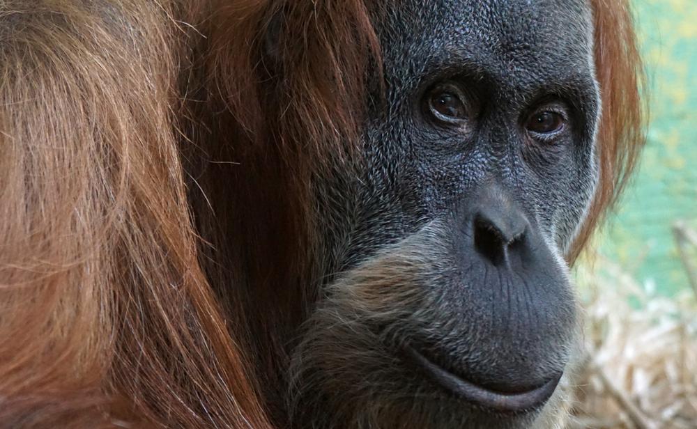 Gorillas and Chimpanzee