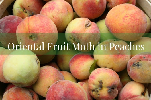 Oriental Fruit Moth in Peaches - Home Garden Joy