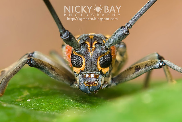 Longhorn Beetle (Epepeotes luscus) - DSC_7995