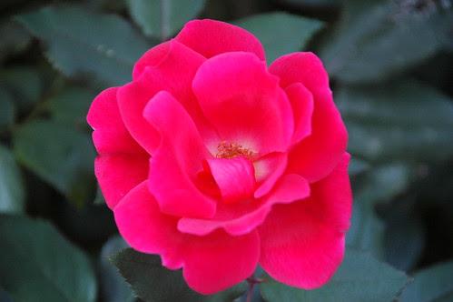 New Rose, Narrows Botanical Gardens
