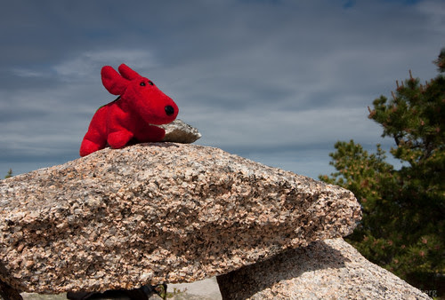 Rover on top of Gorham Mountain, Acadia National Park