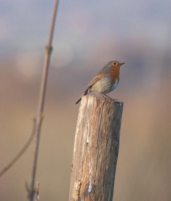 DSC_3656 Robin