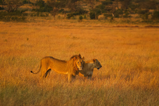 Serengeti | Lion Lovers