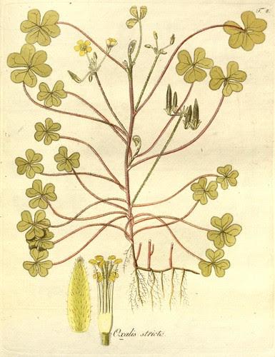 Oxalis Monographia - Nicolao Josepho Jacquin 1794 - Missouri Botanical Gardens