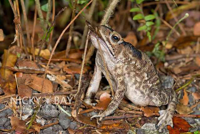 Toad with prey - DSC_7484