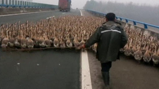 China: Huge flock of geese blocks traffic - BBC News