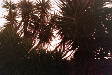 sunrise yuccas