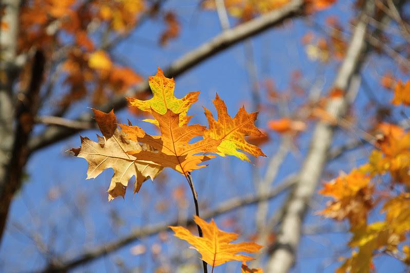 wabukayne oak