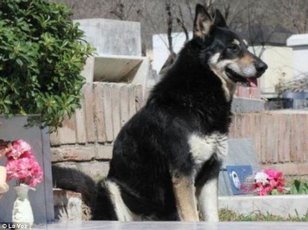 Loyal: Capitan has not left the side of Miguel Guzman's grave since 2006 - and sleeps on top of it every night