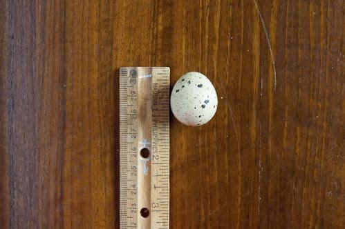 quail egg, ruler