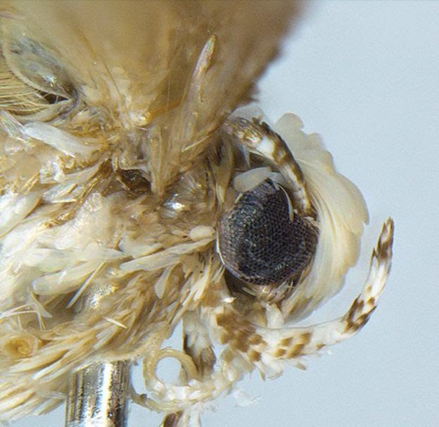 The Neopalpa donaldtrumpi