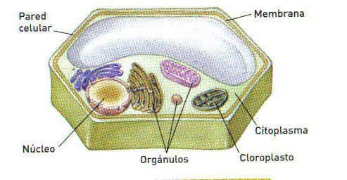 Celula Animal Y Vegetal Definicion Partes Imagenes