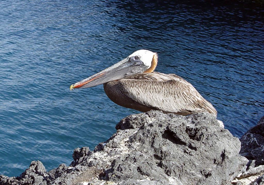 DSC00864 Galápagos Brown Pelican cropped