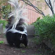 Skunks, pets or pests!