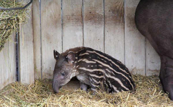 Ένα Νεογέννητο Μωρό Τάπιρος