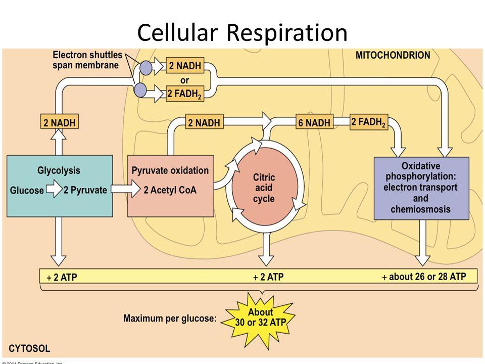 Cellular+Respiration