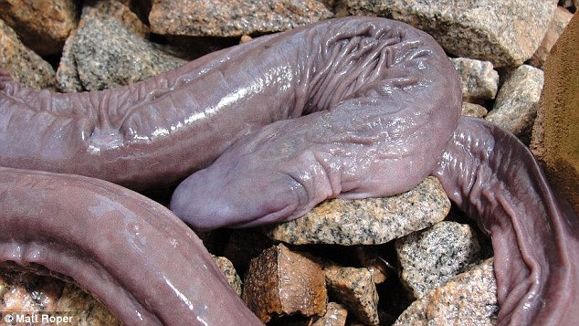 This blind snake might look a little disgusting, but it is an exciting discovery for scientists, who believe it is closely related to salamanders and frogs