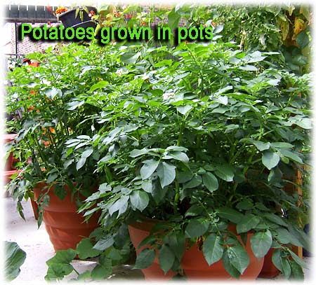 How To Use Pots and Containers To Grow Foods