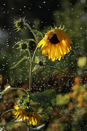 sunflower-drops