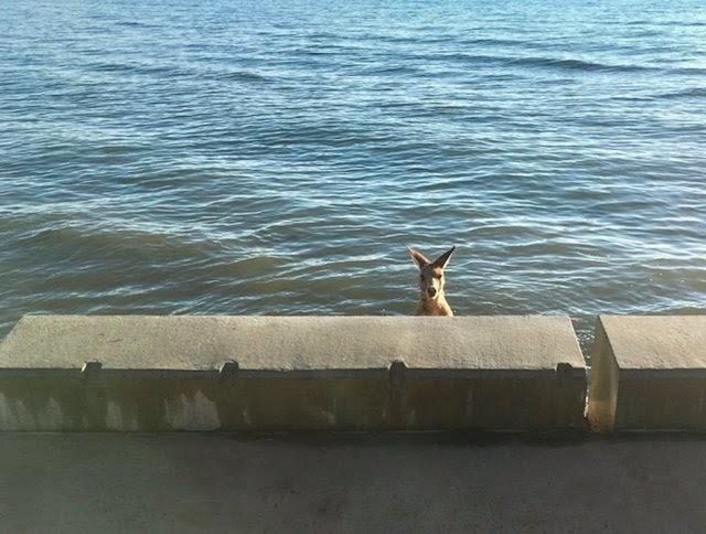 Logran rescatar a un canguro salvaje que se había metido en aprietos a orillas de un malecón