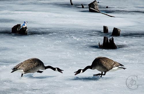 Langman Sanctuary - Canada Geese