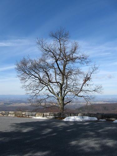 Overlook Tree